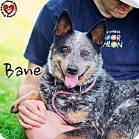 Adopt A Pet :: Bane - Joliet, IL