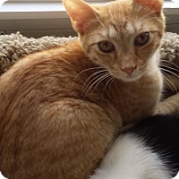Domestic Shorthair Cat for adoption in Jackson, New Jersey - Oliver