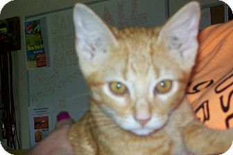 Domestic Shorthair Cat for adoption in Mexia, Texas - Nitche