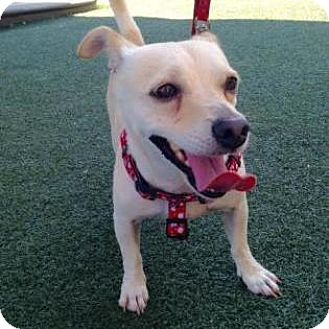 Chihuahua Mix Dog for adoption in Austin, Texas - Bubba