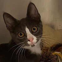 Domestic Shorthair Cat for adoption in Lago Vista, Texas - Augustus