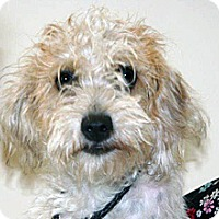 Terrier (Unknown Type, Medium)/Poodle (Miniature) Mix Puppy for adoption in Wildomar, California - 314330 LF