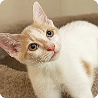 Domestic Shorthair Cat for adoption in Millersville, Maryland - Brock