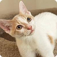 Adopt A Pet :: Brock - Millersville, MD