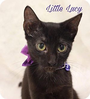 Domestic Shorthair Kitten for adoption in knoxville, Tennessee - Little Luci $45 Female