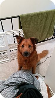 Shepherd (Unknown Type) Mix Dog for adoption in Baltimore, Maryland - Chicco (COURTESY POST)