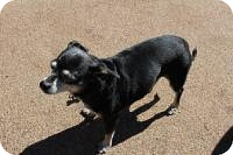 Chihuahua/Terrier (Unknown Type, Small) Mix Dog for adoption in Creston, California - Coco