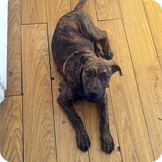 Dutch Shepherd/Labrador Retriever Mix Puppy for adoption in Santa Monica, California - Lucky