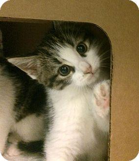 Domestic Shorthair Kitten for adoption in East Brunswick, New Jersey - Vinny