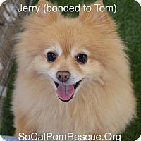Adopt A Pet :: Jerry - Studio City, CA