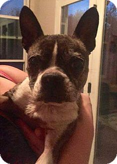 Boston Terrier Dog for adoption in Weatherford, Texas - Boo