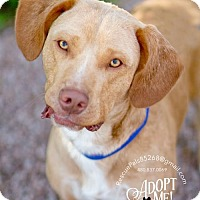 Adopt A Pet :: CHESTER - Fountain Hills, AZ