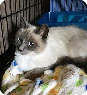 Siamese Kitten for adoption in Antioch, California - Asia