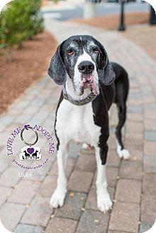 Great Dane Dog for adoption in Huntersville, North Carolina - Annabelle