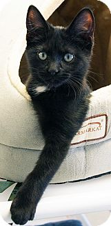Domestic Shorthair Kitten for adoption in Maynardville, Tennessee - Father Steve