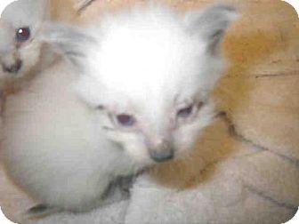 Siamese Kitten for adoption in Jacksonville, Florida - TAFFY