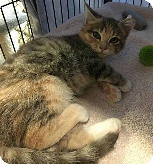 Domestic Shorthair Kitten for adoption in Freeport, New York - Harley