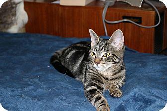 Domestic Shorthair Kitten for adoption in Lindsay, Ontario - Angel