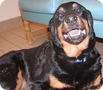 Rottweiler Mix Dog for adoption in Jackson, Michigan - Trooper