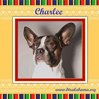 Boston Terrier Dog for adoption in Alabaster, Alabama - Charlee
