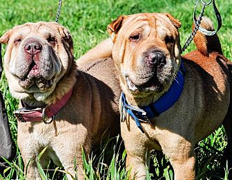 Shar Pei Mix Dog for adoption in Newport, Michigan - Fred