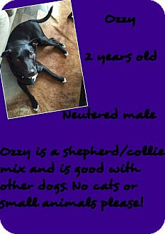 Shepherd (Unknown Type)/Border Collie Mix Dog for adoption in Stephenville, Texas - Ozzy