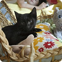 Adopt A Pet :: INKY (Purrs like a dove) - New Smyrna Beach, FL