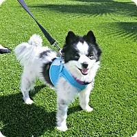 Adopt A Pet :: Zorro is a typical Pom! - Redondo Beach, CA
