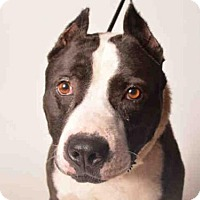 Adopt A Pet :: MAJOR - Ukiah, CA