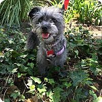 Adopt A Pet :: Peppy - Encino, CA