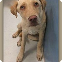 Adopt A Pet :: Peanut Brown 22500 - Pampa, TX