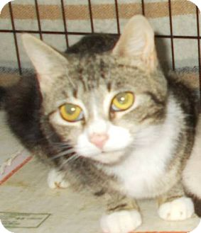 Domestic Shorthair Cat for adoption in New Bedford, Massachusetts - Bella