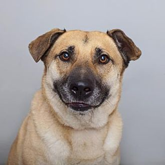 German Shepherd Dog/Chow Chow Mix Dog for adoption in Mission Hills, California - Duke