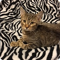 Domestic Shorthair Kitten for adoption in Floral City, Florida - Baby Beans