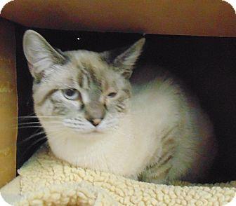 Siamese Cat for adoption in Jackson, Missouri - Jill