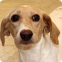 Adopt A Pet :: Chesney - Glastonbury, CT