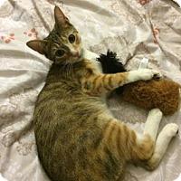 Adopt A Pet :: Anella - New York, NY
