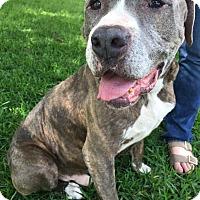 Adopt A Pet :: A - CHARLIE - Ann Arbor, MI