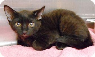 Domestic Mediumhair Kitten for adoption in Redding, California - Romeo