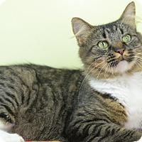 Domestic Mediumhair Cat for adoption in LAFAYETTE, Louisiana - KISSES