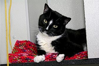 Domestic Shorthair Cat for adoption in Stamford, Connecticut - Tuxedo