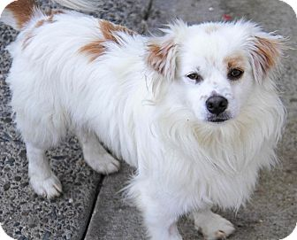 Pomeranian/Terrier (Unknown Type, Small) Mix Dog for adoption in Yuba City, California - Bon