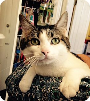Domestic Shorthair Cat for adoption in Nashville, Tennessee - Soliel