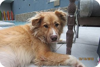 Border Collie/Australian Shepherd Mix Dog for adoption in San Diego, California - Hazel