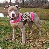 Adopt A Pet :: Zsa Zsa 34267445 - Westampton, NJ