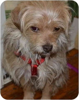 yorkie mix with pug ollie adopted dog greensboro nc yorkie yorkshire 9081