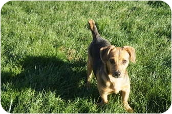 Dachshund Mix Dog for adoption in Xenia, Ohio - Danny