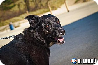 Labrador Retriever Mix Dog for adoption in Schererville, Indiana - Winston
