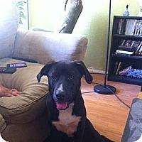 Adopt A Pet :: Brutus,an extraordinary pup - Sacramento, CA