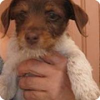 Adopt A Pet :: Gumbo - Phoenix, AZ